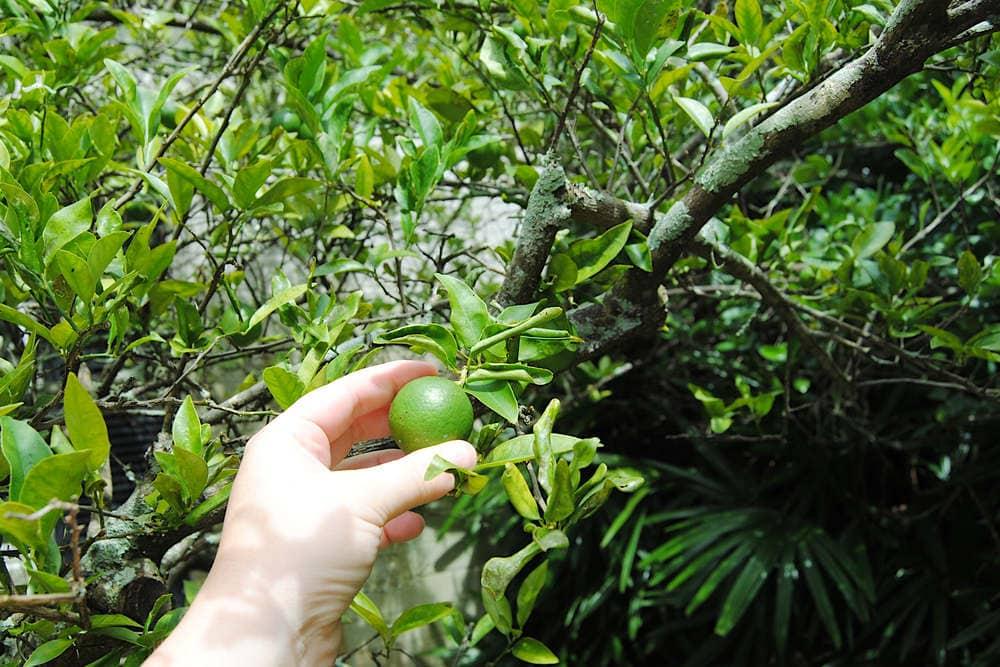 Key Lime Pie - Picking Key Lime