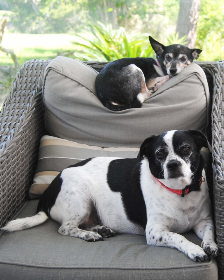 Two small dogs sitting on a chair, one on the seat, the other on top of the back rest